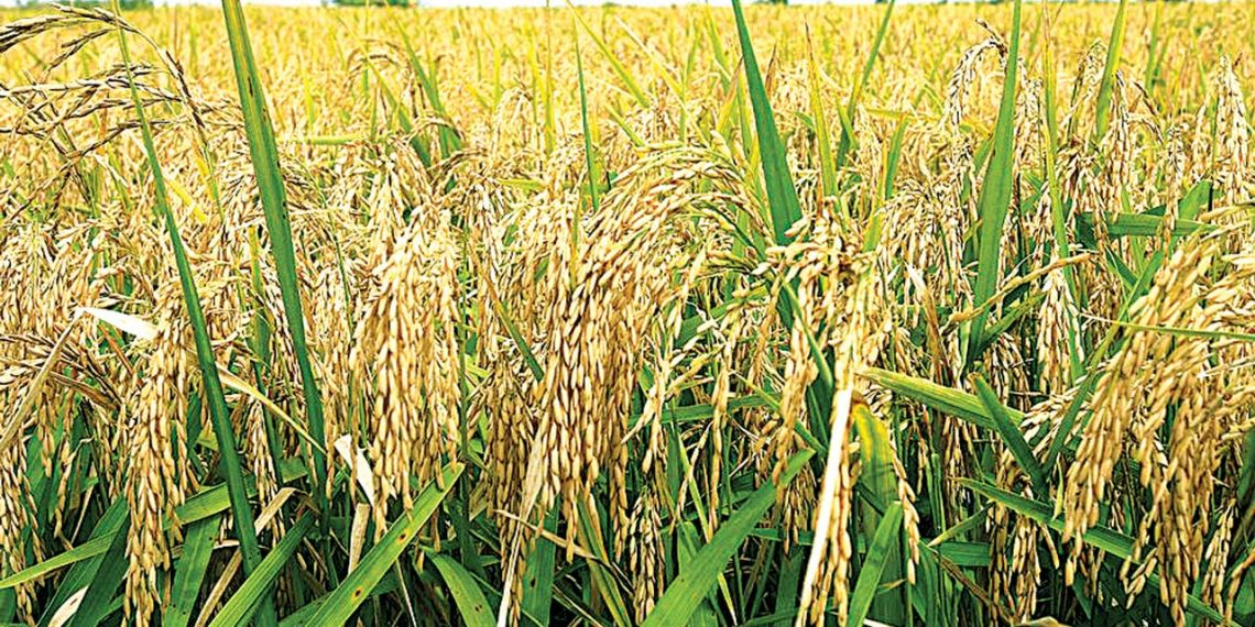 wheat planting